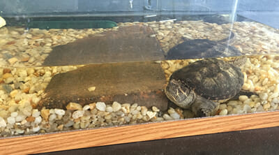 Meet our famous Smithfield Turtle
